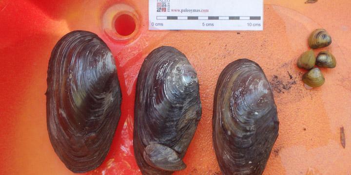 Imagen de diversas nayades encontradas durante la prospección biológica realizada por Paleoymás en el río Ebro (La rioja)