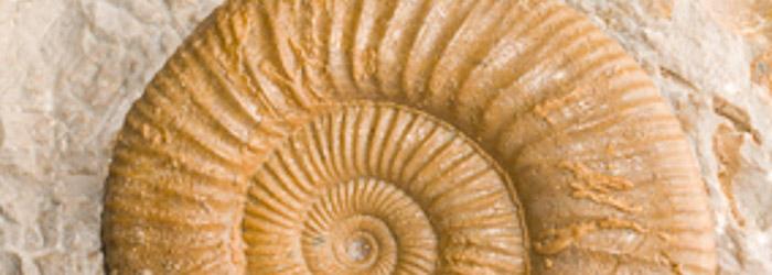 Ammonites preservado en matriz