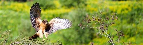 Aguilucho cenizo (Circus pygargus), aterrizando