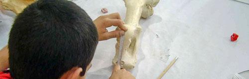 Escolar midiendo un hueso fósil en un taller paleontológico