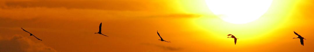 Grullas volando a la puesta de sol