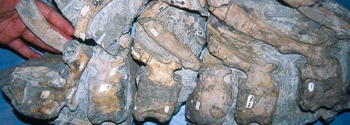 Vertebras caudales de dinosaurio