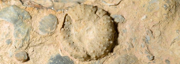 Fósil de equinodermo parcialmente fracturado