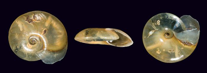 Distintas vistas de un ejemplar de Serpentina nitida