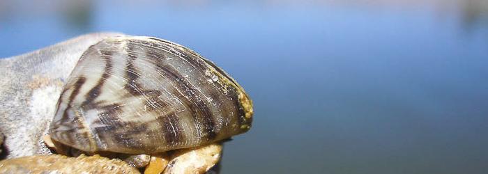 Imagen de mejillón cebra (Dreissena polymorpha) durante trabajos de estudio y caracterización realizados por Paleoymás