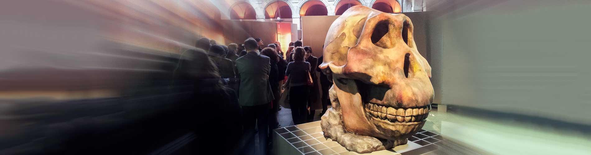 Reproducción de cráneo de homínido fósil