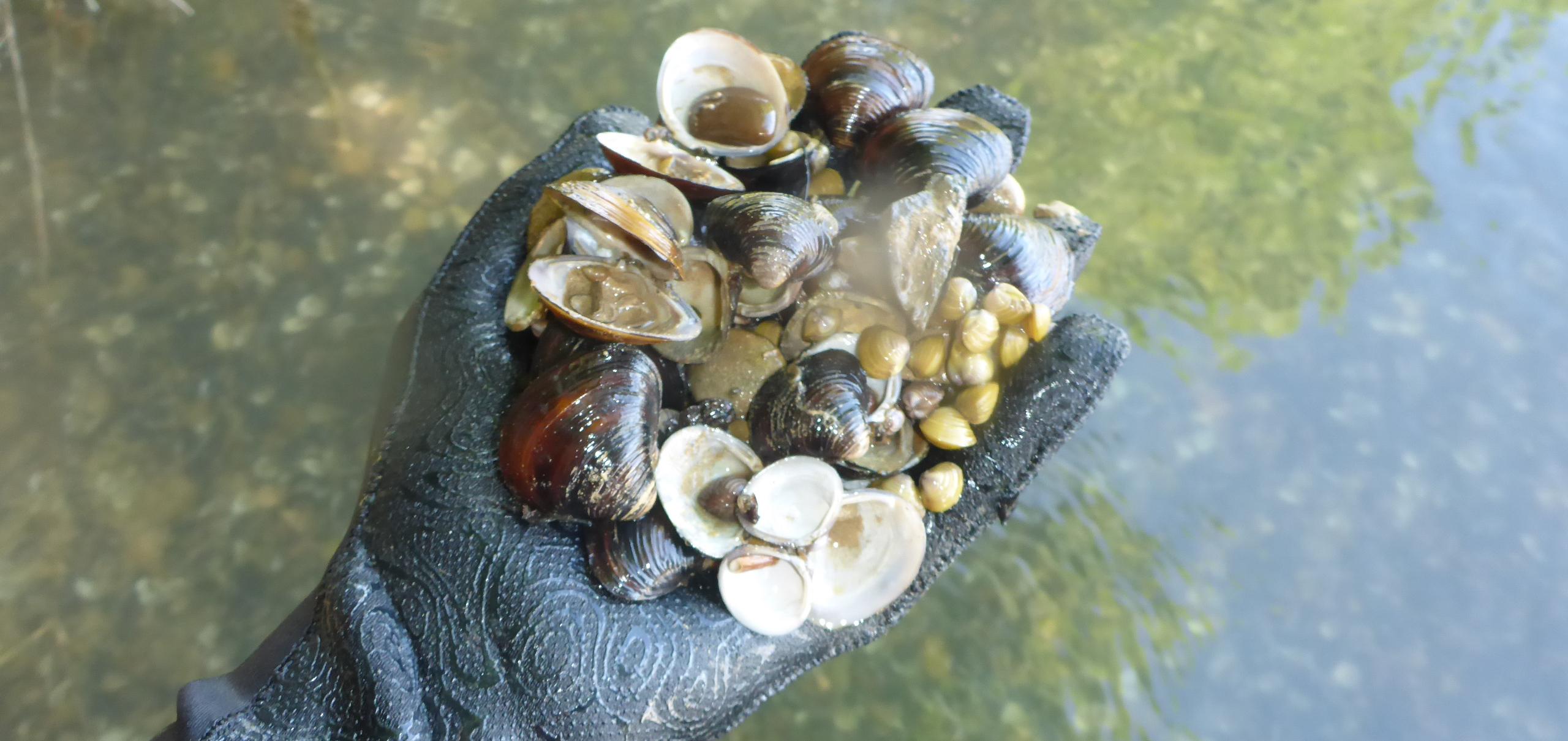 Alta densidad de ejemplares de almeja asiática en el río Ebro a su paso por Novillas (Zaragoza).