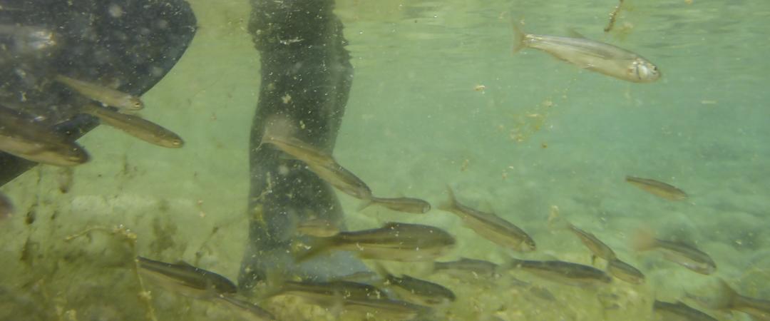 Censo de ictiofauna con pesca eléctrica río Bergantes