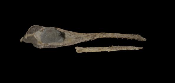 Vista del cocodrilo Maledictosuchus riclaensis en la plataforma 3dpaleo.net